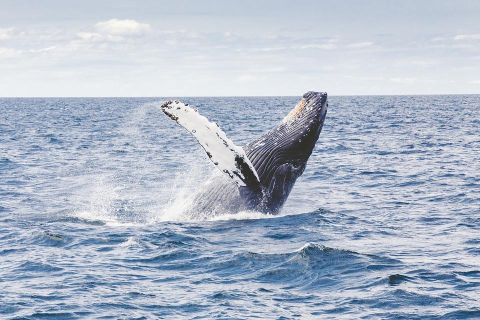 Whale Season in Hermanus