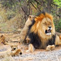 Tswalu lion